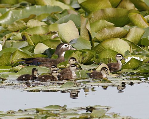 Wood Duck Female With Chicks