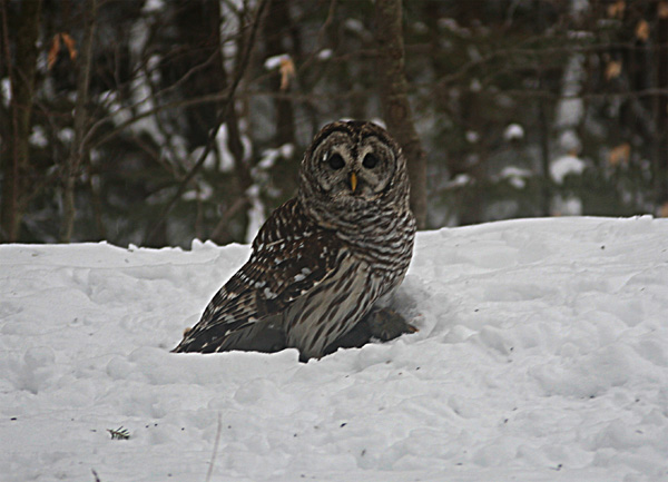 Barred Owl With Gray Squirrel