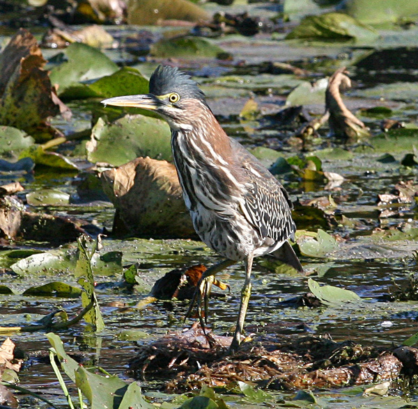 Green Heron White Lake