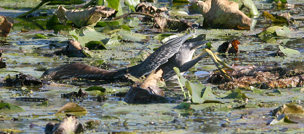 Green heron Fishing, White Lake