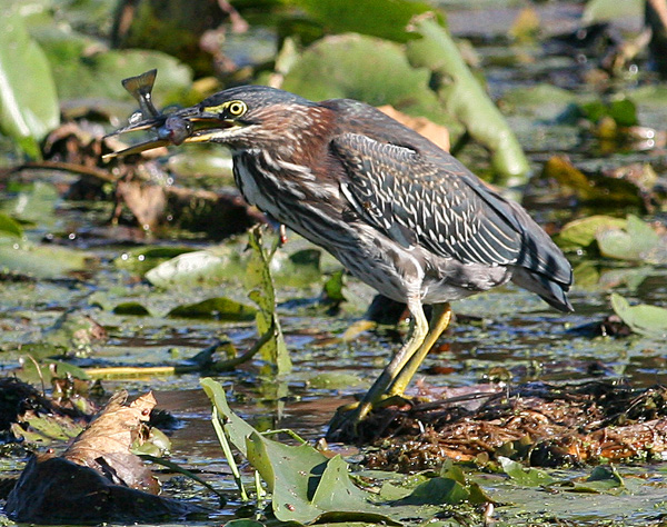 Green heron with Fish, White Lake
