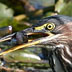 Green Heron, White Lake Muskegon Co. MI