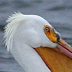 White Pelican Whitehall Michigan