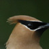 Cedar Waxwing, Mouth of White River