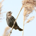 Red Winged Blackbird - Female on Phragmites