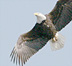 Bald Eagle, White Lake, Muskegon County, Michigan