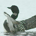 Loon, White Lake, Muskegon County, Michigan