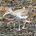 "Spotted Sandpiper, White Lake ""Tannery Bay"" Muskegon County, Michigan"