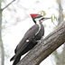 Pileated Woodpecker, near WHite Lake, Muskegon County, MI